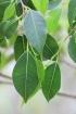 Bois de maman - Maillardia borbonica Espèce endémique de La Réunion