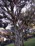 Bois de nèfles, Eugenia buxifolia Lam, Endémique de La Réunion