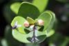 Eugenia buxifolia Lam Bois de Nèfles
