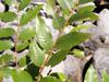 Phyllanthus phillyreifolius espèce endémique de la Réunion