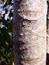 Tronc Bois de Papaye, Polyscias rivalsii Bernardi.