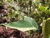 Hancea integrifolia (Willd.) Kulju & Welzen, Bois de perroquet.