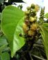 Hancea integrifolia (Willd.) Kulju & Welzen Bois de perroquet