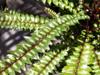 Zanthoxylum heterophyllum (Lam.) Sm