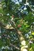 Bois de pomme rouge, Syzygium Cymosum, Endémique de La Réunion et île Maurice.