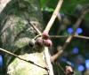 Bois de pomme rouge. Syzygium Cymosum.