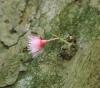 Syzygium cymosum (Lam.) DC