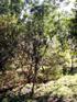 Bois de quivi Turraea thouarsiana Endémique Réunion et Maurice