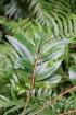 Erythroxylum laurifolium Lam. Bois de rongue. Espèce endémique de la Réunion.