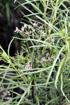 Fleurs Monarrhenus pinifolius