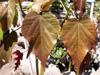 Bois de senteur bleu - Dombeya populnea espèce endémique de La Réunion