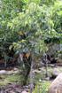 Bois de senteur bleu - Dombeya populnea