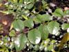 Scutia myrtina (Burm. f.) Kurz