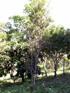 Scolopia heterophylla, Bois de tisane rouge, espèce Endémique des Mascareignes