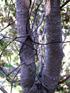 Bois de tisane rouge, Scolopia heterophylla, Endémique des Mascareignes