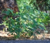 Acalypha integrifolia Willd
