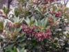 Bois de Laurent Martin ou Bois de Rose. Forgesia racemosa.
