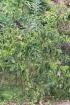 Bois malgache. Ehretia cymosa Thonn
