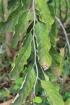 Ehretia cymosa Thonn