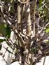 Bois mussard - Pyrostria commersonii Espèce endémique de la Réunion et de Maurice