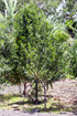 Bois mussard - Pyrostria commersonii