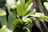 Pyrostria commersonii J.F. Gmel Bois mussard