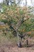 Albizia lebbeck (L.) Benth. Bois noir des bas.