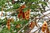 Albizia lebbeck  (L.) Benth Bois noir des bas
