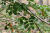 Feuilles Bois noir, Albizia lebbeck