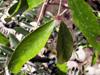 Pleurostylia pachyphloea Tul