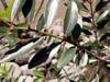 Bois d'olive grosse peau - Pleurostylia pachyphloea Arbre endémique de La Réunion