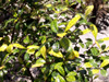 Bois de prune rat - Myonima obovata Lam. Espèce endémique de La Réunion et de Maurice