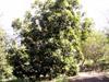 Foetidia mauritiana Lam, Bois puant Arbre endémique de La Réunion et de Maurice