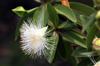 Foetidia mauritiana Lam