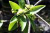 Fruit : Foetidia mauritiana Lam. Bois puant
