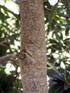 Foetidia mauritiana Lam, Bois puant