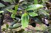 Cassine orientalis (Jacq.) Kuntze