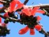 Bombax ceiba L. Fleur rouge.