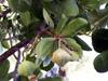 Barringtonia asiatica (L.) Kurz Bonnet de prêtre, Barringtonie d'Asie