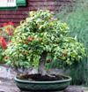 Bonsaï cerisier de Cayenne