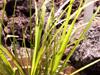 Carex wahlenbergiana Boott