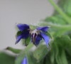 Borago officinalis L