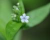 Bothriospermum