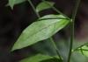 Bothriospermum zeylanicum.
