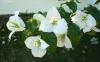 Fleurs Bougainvillier. bougainvillée.