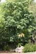 Brachychiton acerifolius (A.Cunn. ex G.Don) F.Muell.
