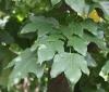 Brachychiton acerifolius (A.Cunn. ex G.Don) F.Muell