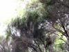 Erica arborescens.