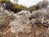Branle blanc - Stoebe passerinoides espèce endémique de La Réunion