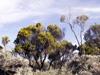 Branle vert Erica reunionensis Flore endémique de La Réunion